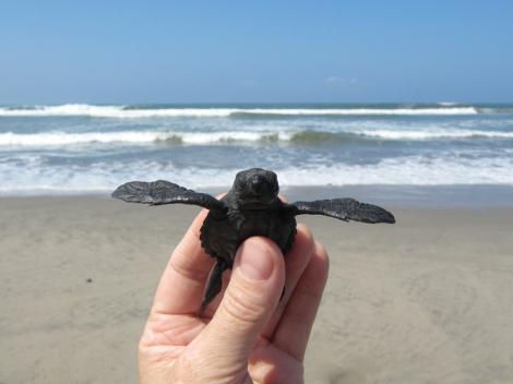 Baby-Sea-Turtle-Acapulco-Mexico