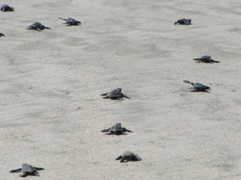 Baby-Turtle-Release-Acapulco-Mexico