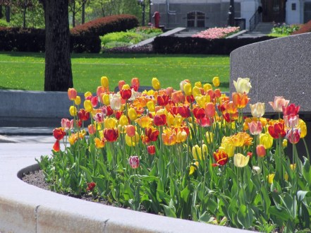 Tulips-Quebec-City
