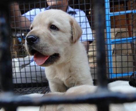 "<img src=""dsc02136_web.jpg"" alt=""Golden Retriever Puppy Crawford Market Mumbai"" />"