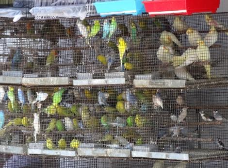 "<img src=""dsc02139_web.jpg"" alt=""Parakeets Cockatiels Crawford Market Mumbai"" />"