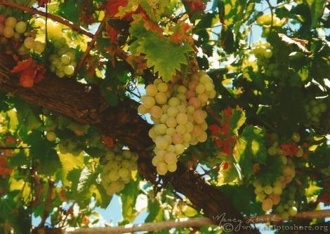 "<img src=""grapes_web.jpg"" alt=""Grapes Algarve Portugal"">"