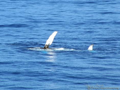 "<img src=""img_4317.jpg"" alt=""Humpback Whale"" />"